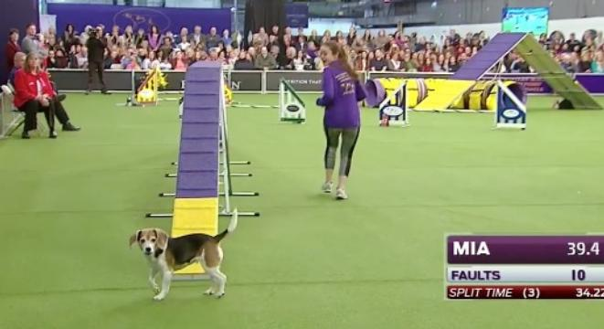 Mia The Easily Distracted Beagle Won't Win A Westminster Dog Show Award, But She's Already Won Our Hearts