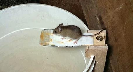 how to get mouse out of house