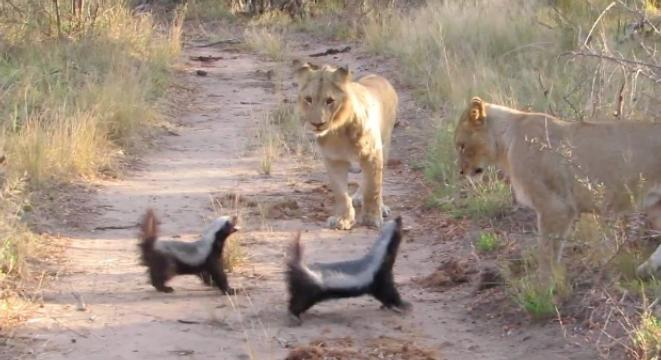 Lions Go After Honey Badgers, Who Are Having Absolutely None Of It