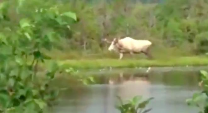 Canadian Woman Spots A Rare Piebald Moose And Has The Sweetest, Most Canadian Reaction To It