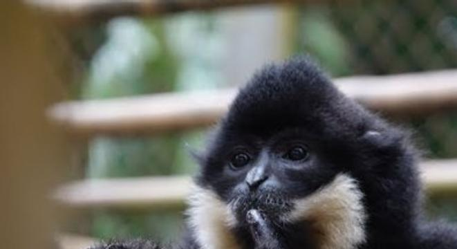 baby monkey tries to escape. mom is having none of it. - digg