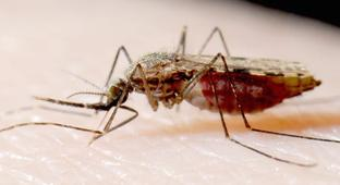 Engineered Mosquitoes Could Eliminate Deadly Malaria Strain