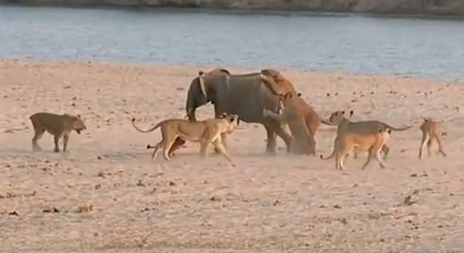 Most Badass Elephant In The Fucking World Fends Off Ten Lions At Once