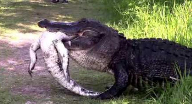 Well, Here's A Gigantic Alligator Eating Another Alligator