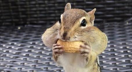 this chipmunk can t possibly stuff his cheeks with any more peanuts