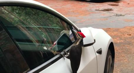 Nervous Tesla Owner Tries To Shoo A Woodpecker Away From His Model 3's  Windows