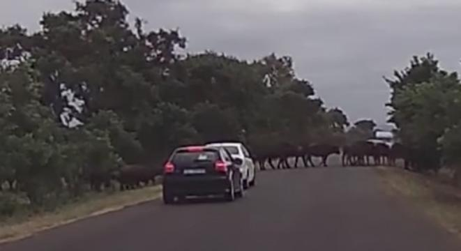 Impatient Driver Moves Too Soon, Car Gets Destroyed By Water Buffalo Stampede