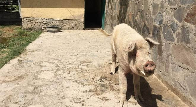 Meet The Only Pig In Afghanistan Digg