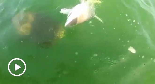 Goliath Grouper Eats Shark Goliath Grouper...