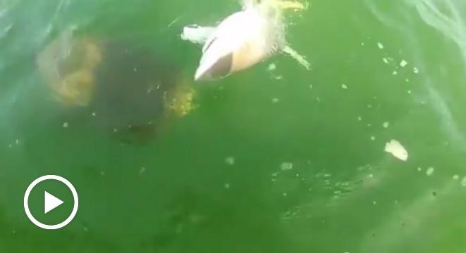 Goliath Grouper Eats Shark Goliath Grouper Eats S...