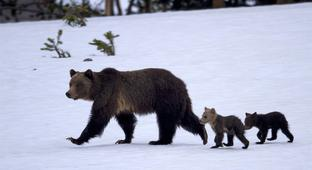 How wildlife investigators found a killer grizzly in Yellowstone.