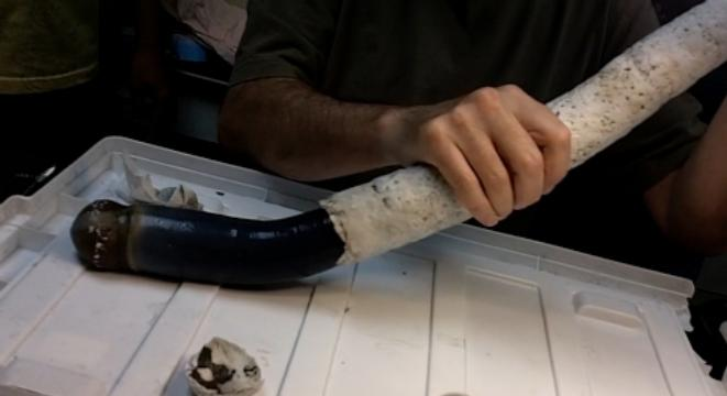 The Giant Shipworm Is Five Feet Long And Utterly Horrifying