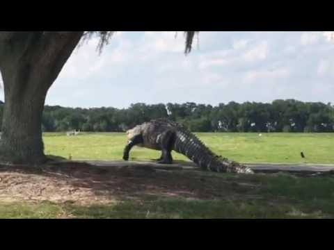 Alternate Angle Video Confirms That Yes That Golf Course Gator Was Fricking Huge Digg