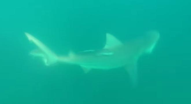 Small Shark Is Ripped Right In Half By Bigger Badder