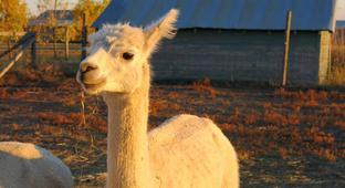 When The Alpaca Bubble Burst, Breeders Paid The Price