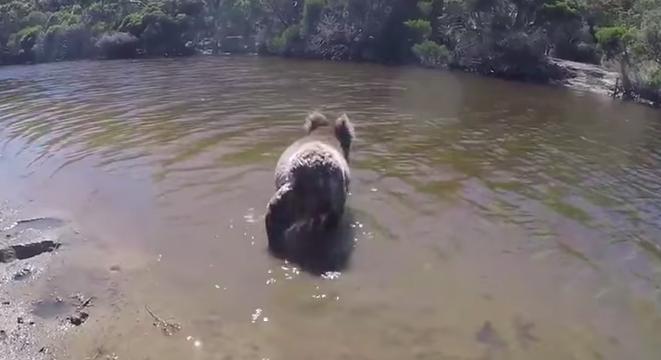 Koala swim