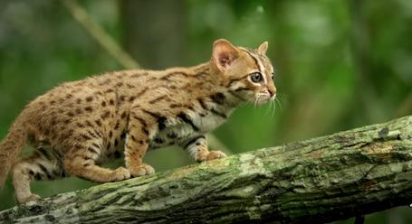 The Worlds Smallest Wild Cat Is Indescribably Cute  Digg  Essays On Health also Research Proposal Essay Topics  Buy A Informal Report