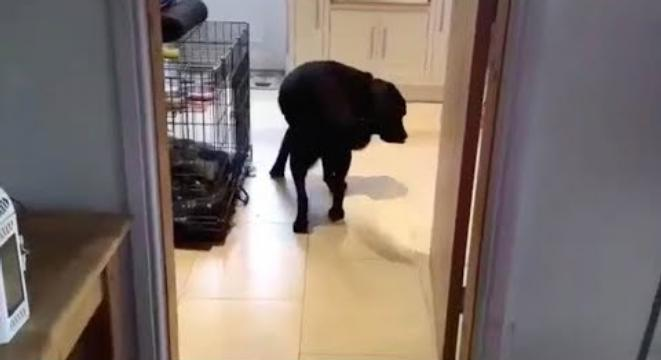 Dog Can Only Enter And Exit Rooms By Walking Backwards