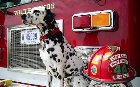 Dalmatians And Fire Fighting Where Did The Tradition Begin