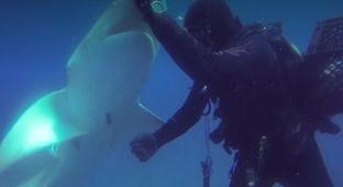 Shark With A Hook Lodged In Its Belly Swims Up To A Diver For Help
