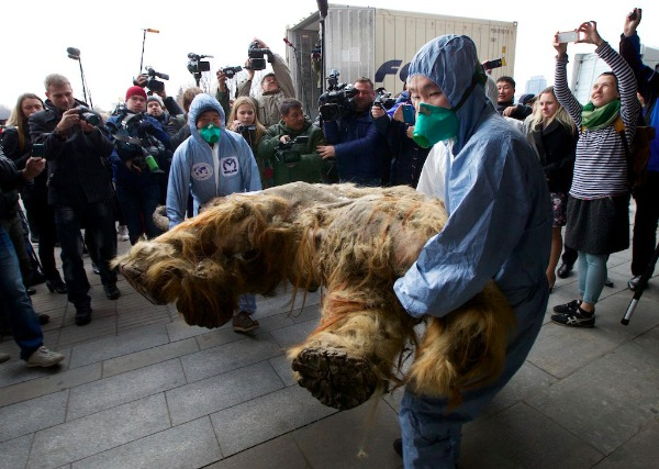 Image: Russian Geographic Society staff members carry the body of baby mammoth to put on display in Moscow, Russia, Tuesday, Oct. 28, 2014. The 39,000-year-old baby mammoth is named Yuka, derived from the Yukagir coastline where she was found. Yuka was found four years ago in the Siberian permafrost and was between six and eleven years old when she died.