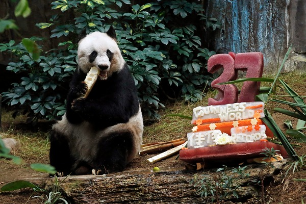 Image: Giant panda Jia Jia eats bamboo next to her birthday cake made with ice and vegetables at Ocean Park in Hong Kong, Tuesday, July 28, 2015 as she celebrates her 37-year-old birthday. Jia Jia broke the Guinness World Records title for