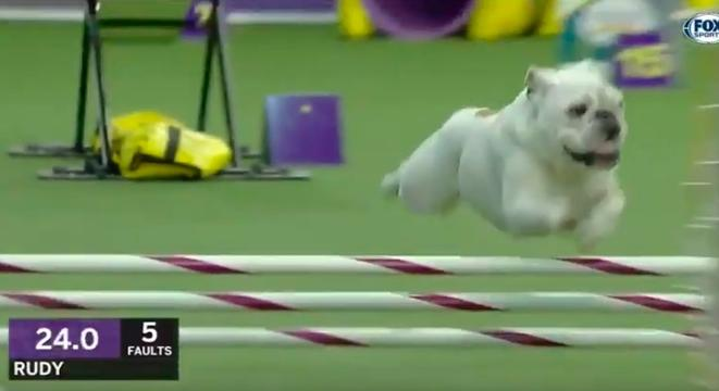 This Bulldog Crushing The Agility Course At The Westminster Dog Show Is Our New Hero