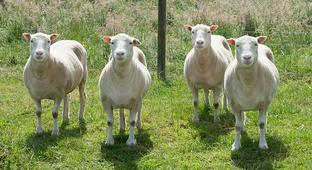 Dolly the Sheep's cloned sisters aging gracefully