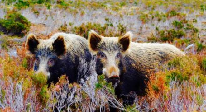 Radioactive wild boars in Sweden are eating nuclear mushrooms