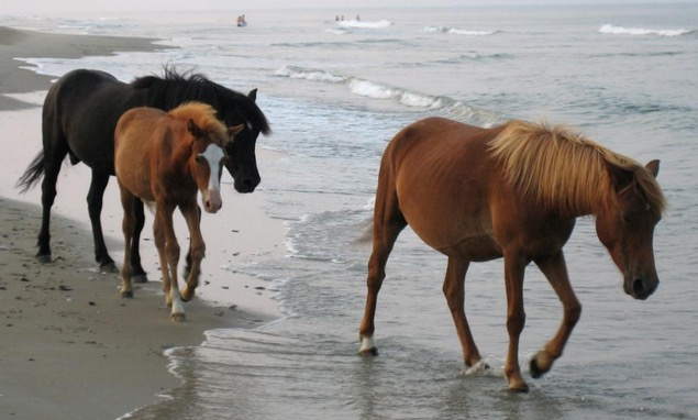 The Wild Horses Of The Outer Banks Won't Evacuate. They Have A Special Trick To Survive Hurricanes