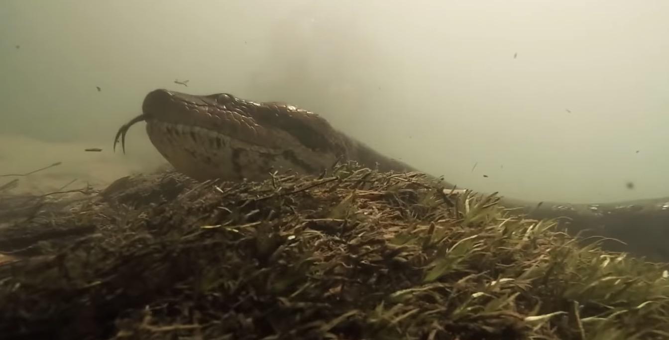 Diver Gets Way Too Close To A 23-Foot Anaconda - Digg