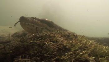 Diver Gets Way Too Close To A 23-Foot Anaconda
