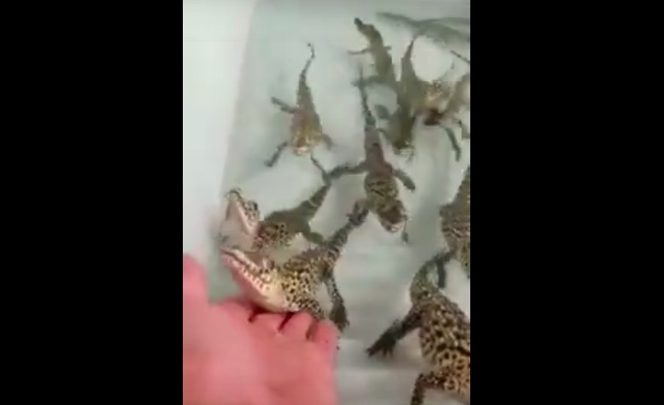 Baby Crocodiles Sound Like The Sound Effect From The 1980s Arcade Game 'Galaga' - Digg