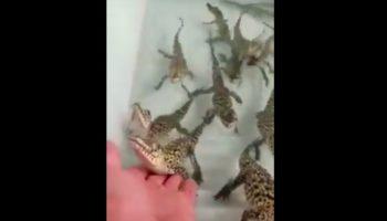 Baby Crocodiles Sound Like The Sound Effect From The 1980s Arcade Game 'Galaga'