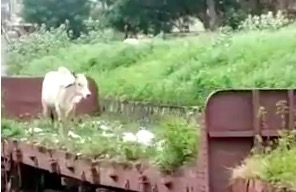 This Cow Hitching A Ride On A Train Car Is The Pixar Movie We Deserve