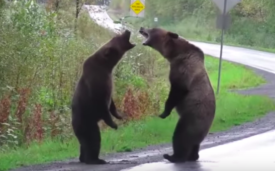 When Two Grizzly Bears Are Fighting Like This, It's Best To Keep The Heck Away - Digg