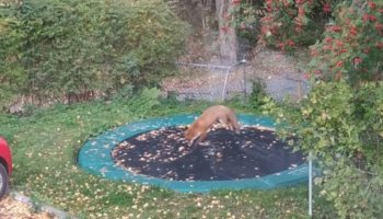 Fox Discovers A Trampoline In Guy's Back Yard, Proceeds To Have The Time Of Its Life