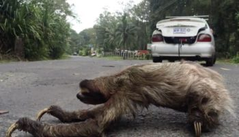 Here's A Sloth Very Slowly Crossing The Road In Costa Rica