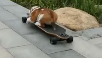 Skateboarding Bulldog Goes Down With The Ship