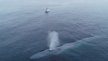 This Drone Footage Of A Blue Whale Next To A Boat Is A Good Reminder Of How Mind-Numbingly Big They Are