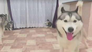 Husky Adorably Loses His Mind Meeting His Pups For The First Time