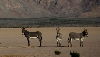 The Wild Donkeys Of Death Valley
