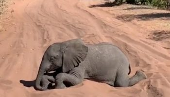 Adorable Baby Elephant Rolls Around In The Sand To The Delight Of Safari-ers