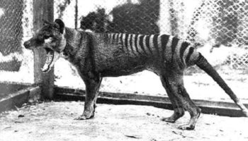 Tasmanian Tiger Sightings Raise Questions About Extinct Australian Predator