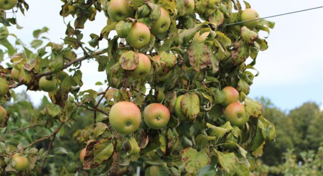 What's Killing America's Apple Trees?