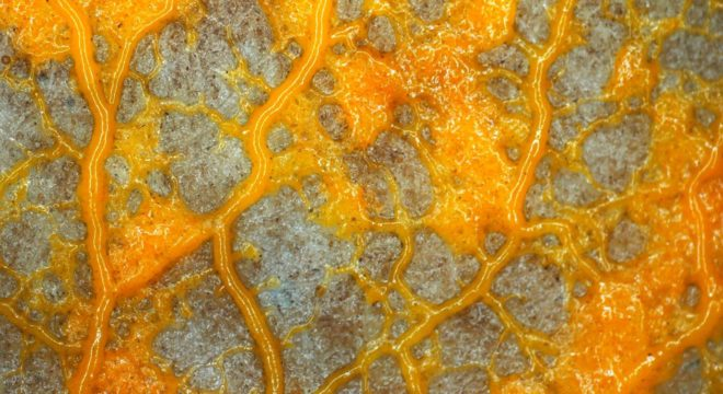 All Hail The Blob, The Intelligent Slime Mould Confounding Science