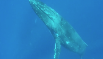 Swimmers Capture The Mesmerizing Sight Of A Sleeping Humpback Whale Floating To The Water Surface