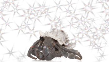 The Miraculous Journey Of A Captive-Bred Hermit Crab