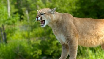 A Cougar Was Stalking Her, So She Played Metallica