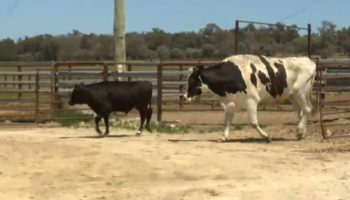 'Knickers' The Giant Steer Strikes Again, Is Too Big For Country Show Appearance